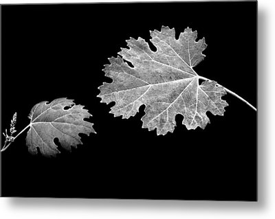 The Reach - Grape Leaf Anemone - Leaves - Black Background Metal Print by Nikolyn McDonald