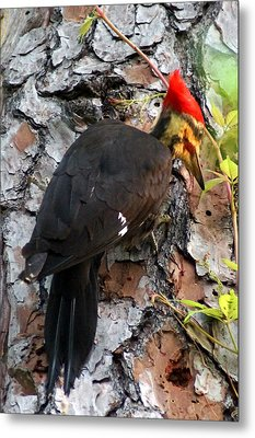 The Southeastern Pileated Woodpecker Metal Print by Kim Pate