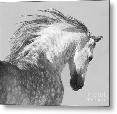 The Spanish Stallion Tosses His Head Metal Print by Carol Walker