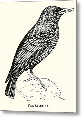 The Starling Metal Print by English School