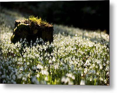The Stump And The Snowdrops Metal Print by Anne Gilbert
