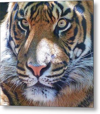 The Superb Sumatran Tiger Metal Print by Margaret Saheed