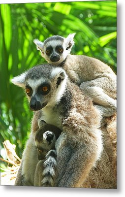 The Twins - Ring-tailed Lemurs Metal Print by Margaret Saheed