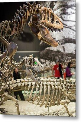 Theropod Dinosaur Fossils Display Metal Print by Jim West