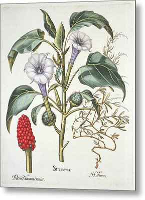 Thorn Apple, From The Hortus Metal Print by German School