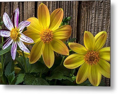 Three Dahlias Metal Print by Garry Gay