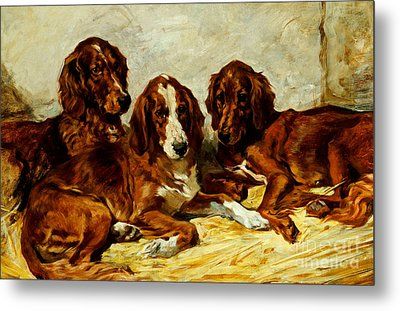 Three Irish Red Setters Metal Print by John Emms