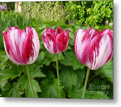 Three Pink Rembrandt Tulips Metal Print by Lingfai Leung