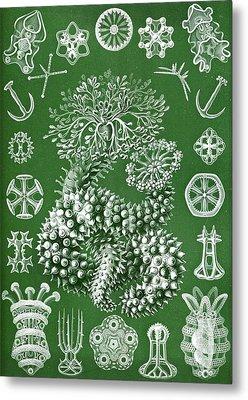 Thuroidea From Kunstformen Der Natur Metal Print by Ernst Haeckel