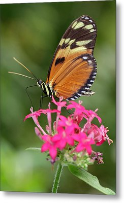 Tiger Longwing Metal Print by Juergen Roth