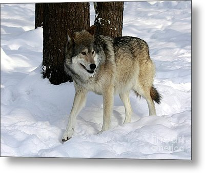 Timber Wolf In A Winter Snow Storm Metal Print by Inspired Nature Photography Fine Art Photography