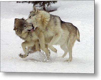 Timber Wolf  Pair Montana Metal Print by Matthias Breiter