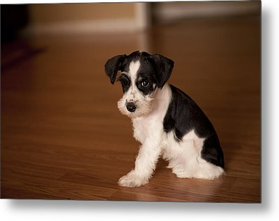 Tiny Puppy Metal Print by Malania Hammer
