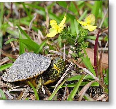Tiny Turtle Close Up Metal Print by Al Powell Photography USA