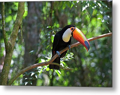 Toco Toucan (ramphastos Toco Metal Print by Andres Morya Hinojosa