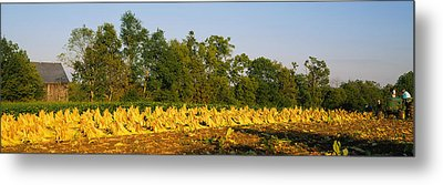 Tractor In A Tobacco Field, Winchester Metal Print by Panoramic Images