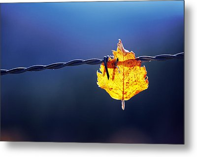 Trapped Leaf On Barbed Wire Metal Print by Mikel Martinez de Osaba