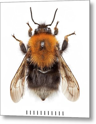 Tree Bumblebee Metal Print by Natural History Museum, London