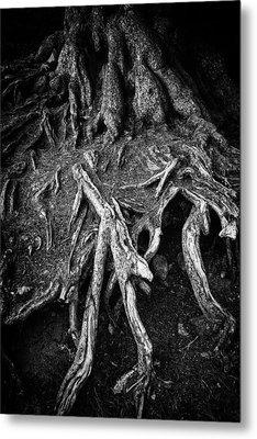 Tree Roots Black And White Metal Print by Matthias Hauser
