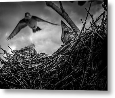 Tree Swallows In Nest Metal Print by Bob Orsillo