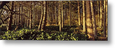 Trees And Salals In A Forest At Sunset Metal Print by Panoramic Images