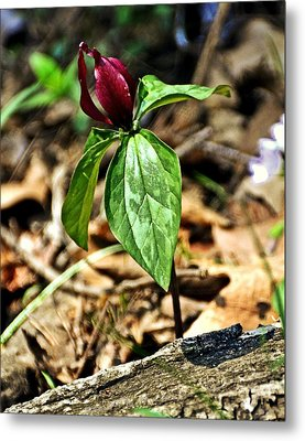 Trillium Deluxe Metal Print by Marty Koch