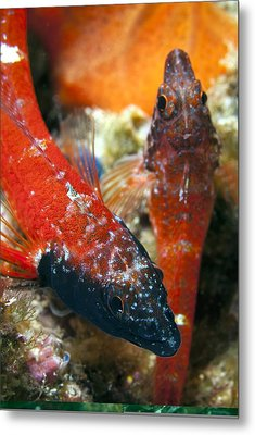 Triplefin Blennies Metal Print by Science Photo Library