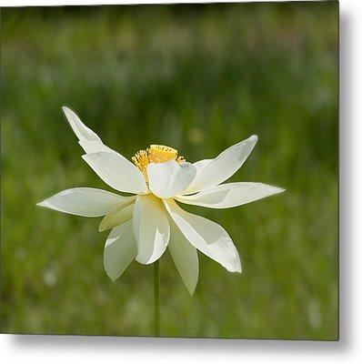 Tropical Lotus Flower Metal Print by Kim Hojnacki
