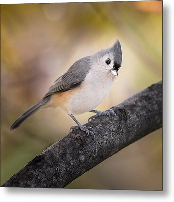 Tufted Titmouse Metal Print by Bill Wakeley