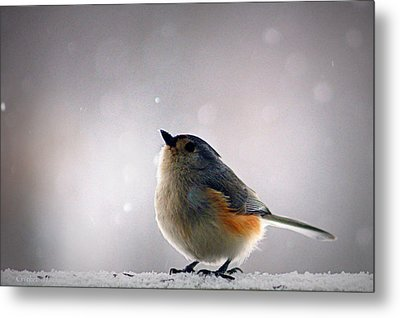Tufted Titmouse Metal Print by Cricket Hackmann