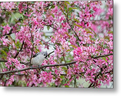 Tufted Titmouse In A Pear Tree Metal Print by Bill Wakeley