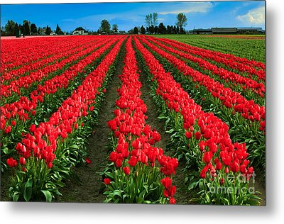 Tulip Cornucopia Metal Print by Inge Johnsson