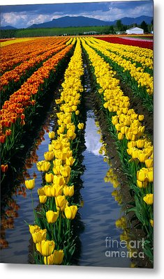 Tulip Reflections Metal Print by Inge Johnsson