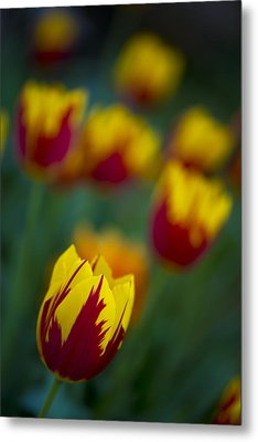 Tulips Metal Print by Chevy Fleet