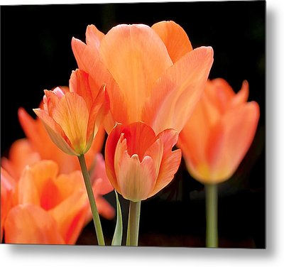 Tulips In Shades Of Orange Metal Print by Rona Black