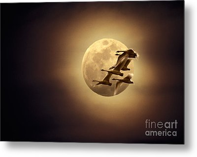 Tundra Swans And Moonglow Metal Print by Ron Sanford