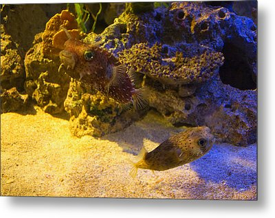 Two Blow Fish  Metal Print by Chris Flees