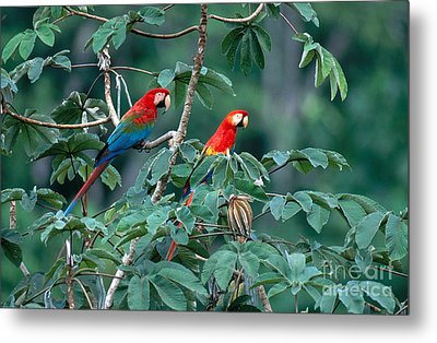 Two Macaws Metal Print by Art Wolfe