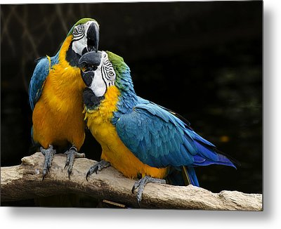 Two Parrots Squawking Metal Print by Dave Dilli