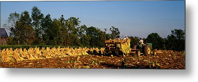 Two People Harvesting Tobacco Metal Print by Panoramic Images