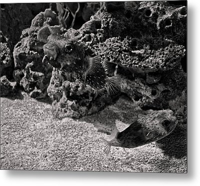 two Puffer fish Metal Print by Chris Flees
