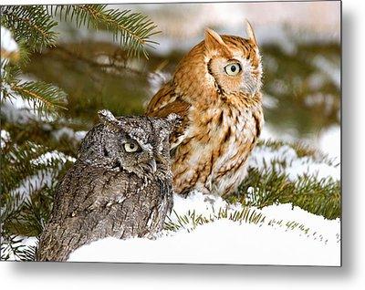 Two Screech Owls Metal Print by John Pitcher