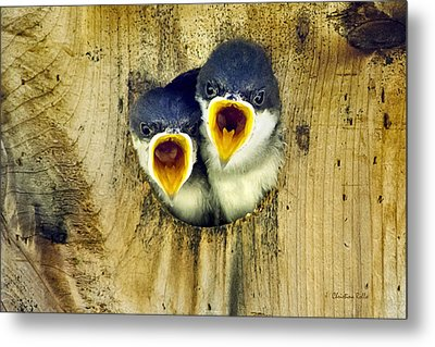 Two Tree Swallow Chicks Metal Print by Christina Rollo