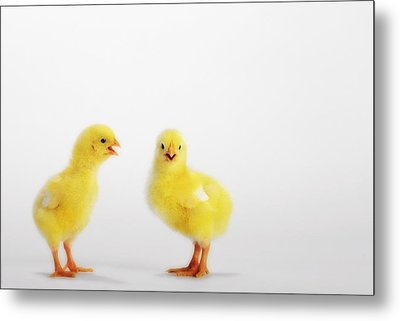 Two Yellow Baby Chicks Chirpingbritish Metal Print by Thomas Kitchin & Victoria Hurst