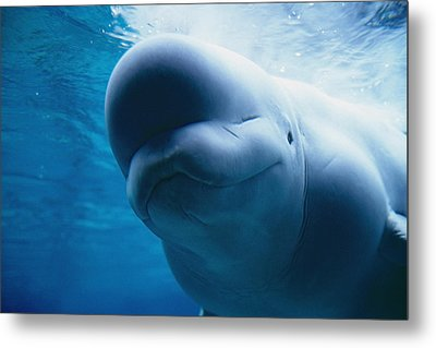 Underwater Close Up View Of A Captive Metal Print by Mark Newman