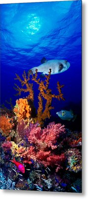 Underwater View Of Bristly Puffer Fish Metal Print by Panoramic Images