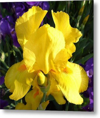Upbeat Yellow Iris Metal Print by Will Borden