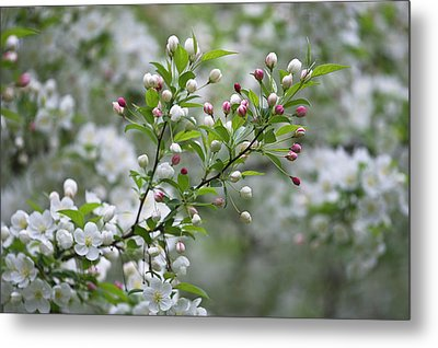 Usa, Ohio Cherry Blossom Branch Metal Print by Jaynes Gallery