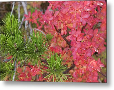 Usa, Oregon Close-up Of Huckleberry Metal Print by Jaynes Gallery