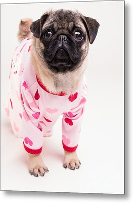 Valentine's Day - Adorable Pug Puppy In Pajamas Metal Print by Edward Fielding